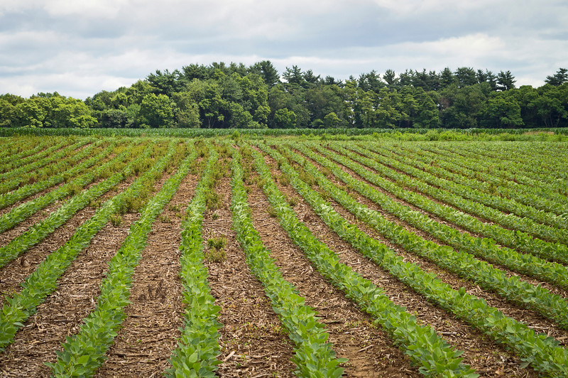 """Field Rows""<br /> Rows of crops in a Summer field in rural Central New Jersey."
