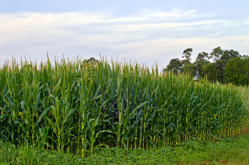 """Corner Cornfield""<br /> <br /> A Summer cornfield in rural Central New Jersey."