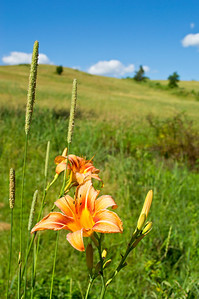 """Tiger Lilly and Field""  A close-up of a tiger lilly with a Summer hillside in the background."