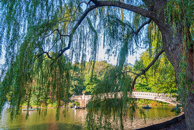 Weeping Willow Central Park