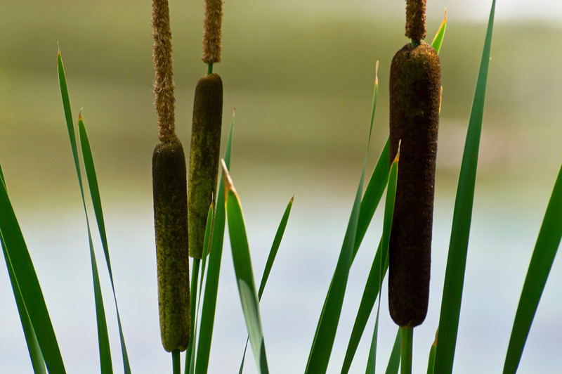 Cattails<br /> A background photograph of cattails near a small New Jersey pond.