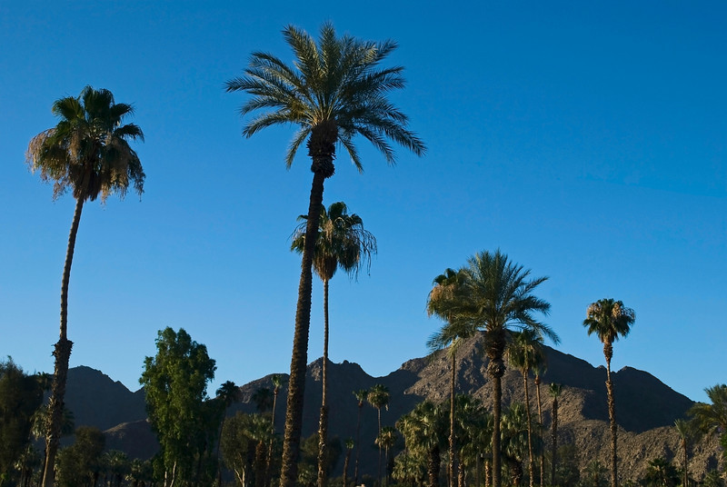 """""""Mountains and Palms"""" <br /> Palm trees and landscape view near Palm Springs, California."""