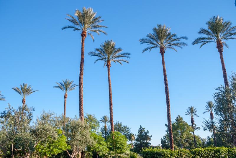 California Palm Trees