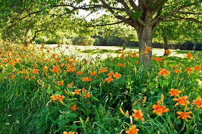 """Bright Summer Day"" A field of tiger lillies on a bright Summer day in northern New Jersey."