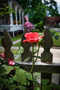 Neighborhood Rose
