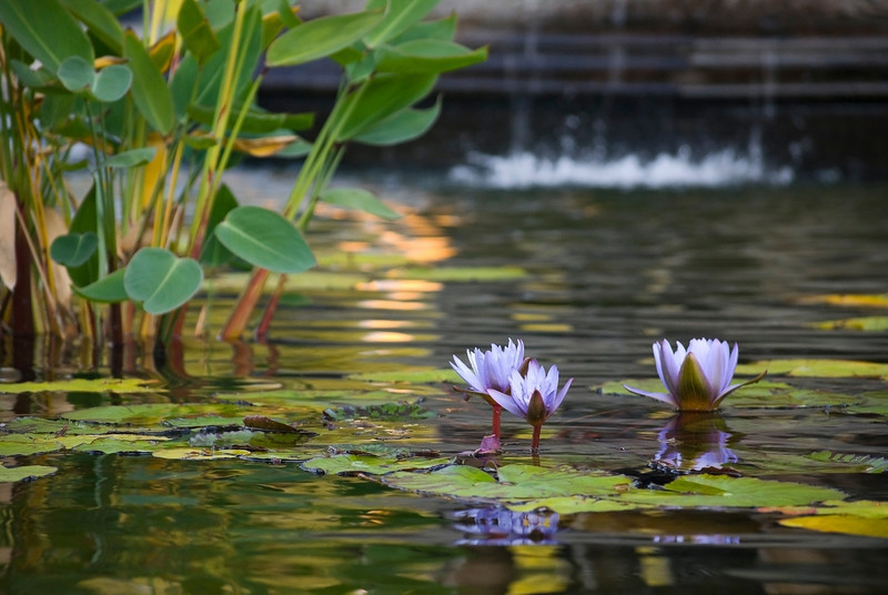"""Pond Lilies"" <br /> Water lilies on a Summer pond."