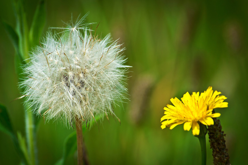 Dandelion Pod<br /> <br /> A close-up photograph of a dandelion seed pod and the yellow flower along side.