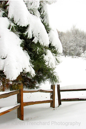 Snow and Pine in the Park