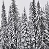 96_SnowTree