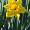 253_Daffodil1