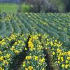 253_Daffodil4