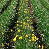 252_Daffodil9