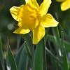 252_Daffodil5