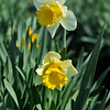 252_Daffodil