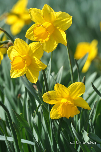 252_Daffodil8