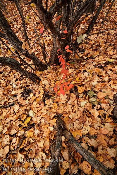 Fall in the Poplars
