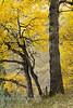 Golden Poplars