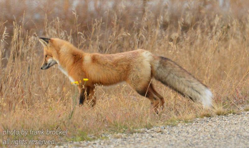 Red Fox hunting mice