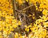 Great Horned Owl is posing in golden poplar leaves