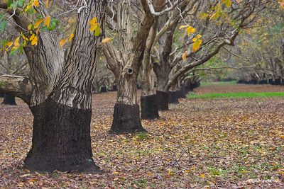 Oroville walnut orchards
