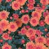 2016-Fall Flowers
