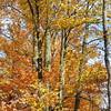 Fall Trees a Blaze