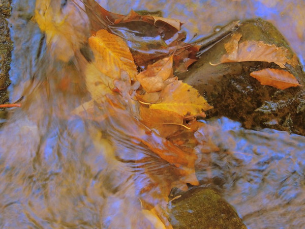 2016-Fall Colors-Leaves Floating
