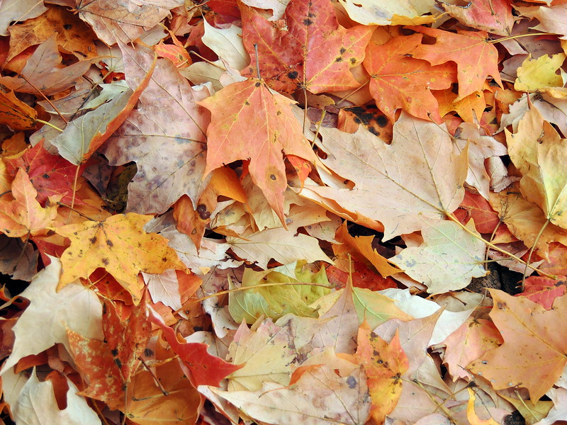 2016-Fall Colors-Fallen Leaves-2