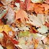 2016-Fall Colors-Fallen Leaves-2