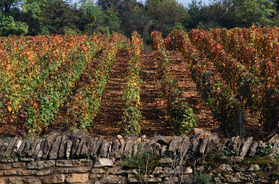 Burgundy Vineyard in Fall