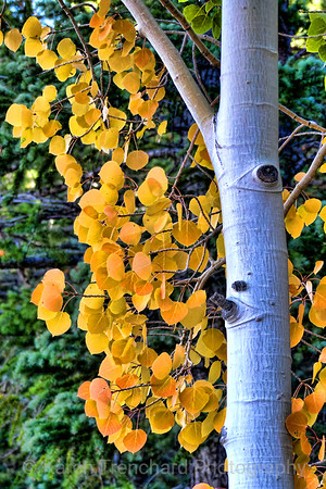 Aspen Leaves September Gold