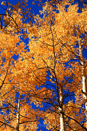 Aspen with Deep Blue Sky