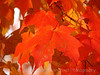 Scarlet Maple Leaves