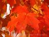 Scarlet Maple Leaves