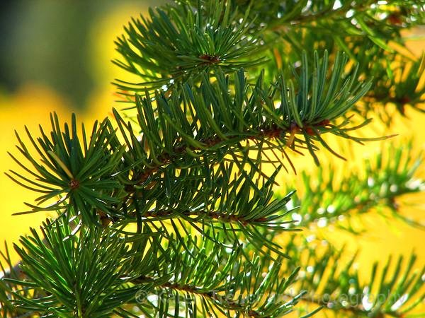 Evergreen Branch and Golden Aspen