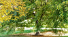 Weeping Willow Tree in Bible Park, Denver,, Colorado