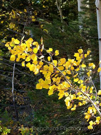 Aspen Branch Blowing in the Wind