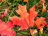 Maple Leaf Fall Grounded