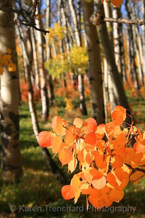 Orange Aspen Branch