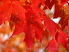 Maple Leaves Painted Red