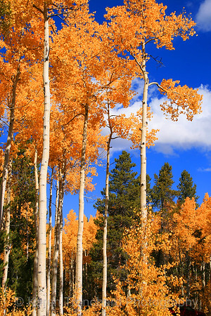 Aspen Against Blue Sky
