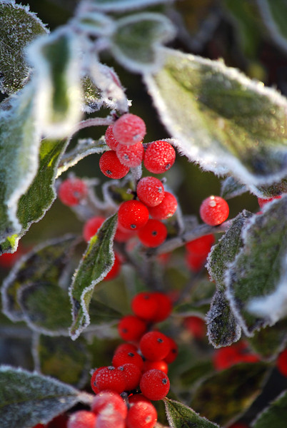 Early Frost Holly 2-211-B