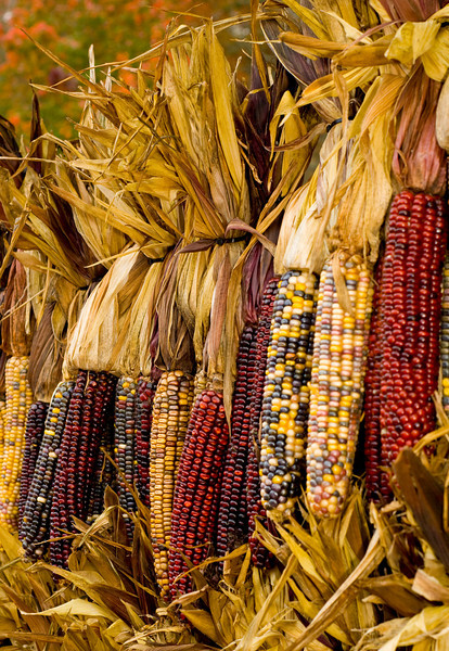 Row of corn drying at the pumpkin farm