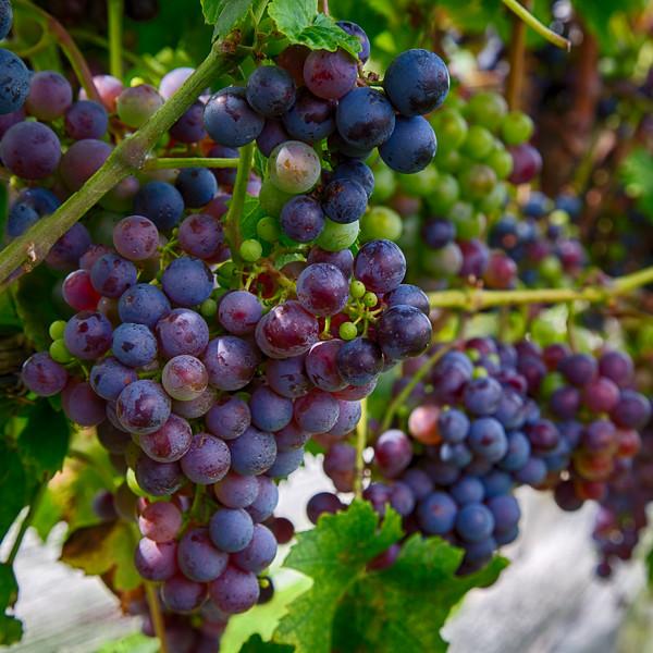 CT Grapes 2