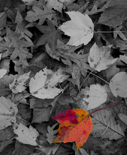 Partial color fall leaf portait