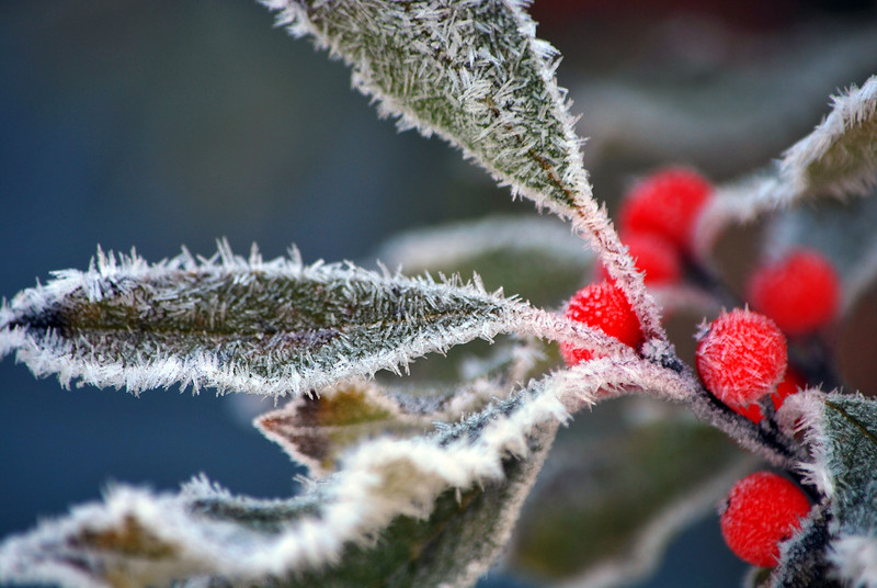 Early Frost Holly -1  220-B