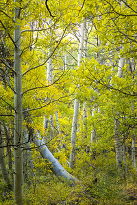 The secret lives of aspens