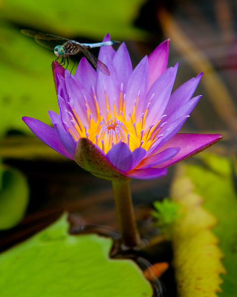 purple water lily and friend