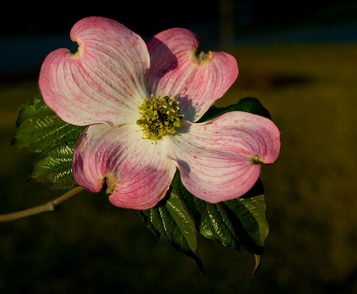 A pink dogwood planted in memory of my Father