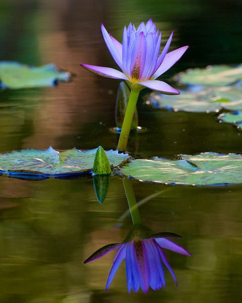 Purple lily and reflection